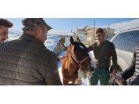 Yaylada ölüme terk edilen at günler sonra hayvanseverler tarafından kurtarıldı