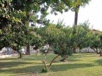 Çeşme'deki sakız ağaçları koruma altında