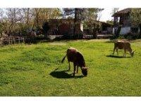 Samsun'da hırsızlar merada otlayan inekleri çaldı