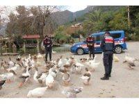 Azmak'taki ördekleri Jandarma besledi