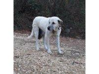 Köpekteki 3 kilogramlık tümör, cerrahi işlemle alındı
