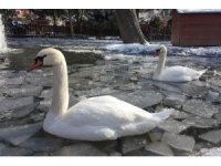 Kuğuların kış keyfi