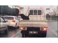 Köpeğin 85 km hızla kamyonet kasasındaki tehlikeli yolculuğu kamerada