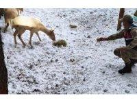 Koruma altındaki geyiklere jandarmadan yem