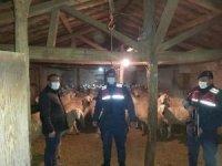 Kaybolan 90 Koyunu Jandarma ekipleri buldu