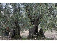 Soma'da 3 zeytin ağacına 'Anıt Ağaç' tescili