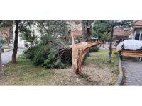Buldan'da ağaçlar şiddetli rüzgara dayanamadı