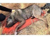 Av tüfeğiyle vurulan köpek telef oldu
