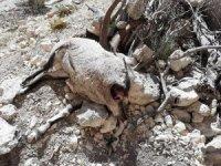 Mersin'de nesli tehlike altında bulunan 7 yaban keçisi ölü bulundu