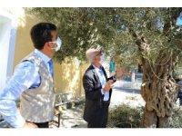 Milas'ta zeytin ağaçlarının bakımı yapıldı