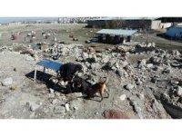 Hassas burunlar depremde can kurtarıyor