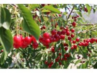 Erzincan'da vişne bahçesi kuranlara yüzde 75 hibe desteği