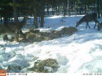Türkmen Dağı'ndaki geyikler fotokapanla görüntülendi