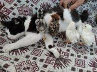 Kedi Mercan hem köpek yavrularına hem de civcivlere annelik yapıyor