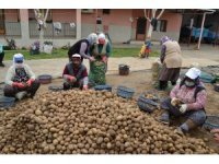 TMO'nun patates alımı Manisalı çiftçilerin yüzünü güldürdü