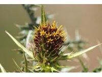 Ünlü botanikçi Kapadokya'da yeni bitki keşfetti
