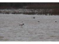 Göç yolundaki flamingo Sinop'ta görüntülendi
