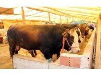 Trakya'ya kurbanlık hayvan sevkiyatına kısıtlama
