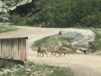 Şemdinli'de dağ keçileri görüntülendi