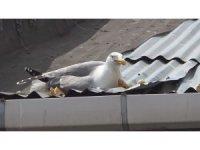 Sinop'ta yaralı martıyı kurtarma seferberliği