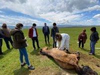 Ayağı kırıldığı için çayırda mahsur kalan at, Belediye ve Doğa koruma ekiplerince kurtarıldı