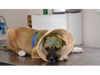 Kuşadası Belediyesi'nden kulakları kesilen yavru köpeğe şefkat eli
