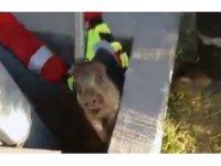 Çukura düşen yavru domuz kurtarıldı