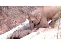 Çin'de su kanalına düşen yavru fili başka bir fil kurtardı