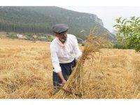 Tarsus'ta kunduru buğdayının son hasadı yapıldı