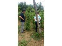 Şerbetçi otu bitkisinde hasat dönemi yaklaştı
