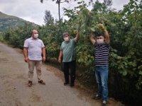 Trabzon'da fındık hasat tarihleri belli oldu