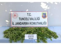 Tunceli'de 278 kök kenevir ele geçirildi