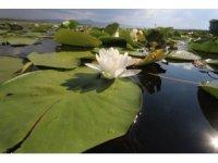 Beyşehir Gölü Milli Parkı'ndaki nilüfer bahçesine yoğun ilgi