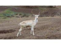 Sıklık tabiat parkına ala geyik salındı