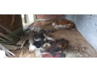 Sinop'ta ayı dehşeti: 6 büyükbaş hayvan telef oldu