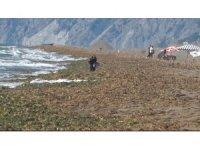 Samandağ sahilini kaplayan su canavarları için temizlik çalışması başlatıldı