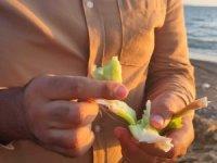 Samandağ sahilini istilacı su sümbülleri kapladı