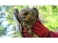 Bingöl'de yaralı bulunan kızıl şahin tedavi altına alındı