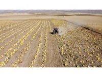 Tomarza'da kabak çekirdeği hasadı başladı