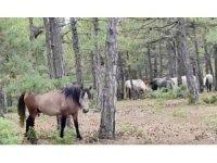 Yılkı atları orman işçileri tarafından görüntülendi