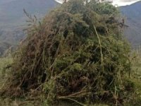 Ardahan'da 12 bin 820 kök kenevir imha edildi