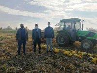 Aslanapa'da sınırlı sulamayla çerezlik kabak üretimi