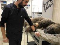Otomobil çarpan ayı tedavi altına  alındı