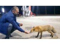 Milli futbolcunun babası tilkiyi eliyle besledi