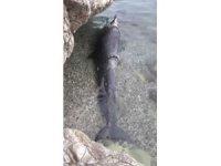 Antalya'da kıyıya yalancı katil balina ölüsü vurdu