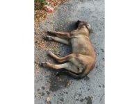 Mahmudiye'de köpek zehirlenmelerine tepki