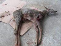 Köpekler Karacayı Telef Etti