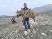 Kahta'da çizgili sırtlan ölüsü bulundu