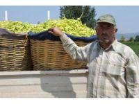 Yenişehir'de biber hasadı başladı
