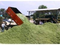 Paketlenmiş silajlık mısıra çiftçiden büyük ilgi